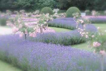 Lavender is a vibrant addition to the home garden.