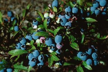 Fungicides are used to prevent infections such as blight and mildew in blueberry plants.