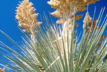 Yucca flowers and foliage contrast dramatically with each other.
