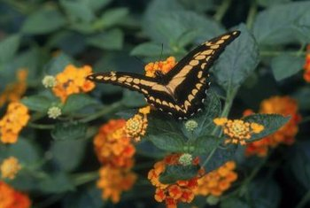 Brilliant orange, yellow and red lantana attracts butterflies, but not deer.