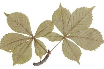 Identify Indian hawthorns by their rounded, leathery leaves.