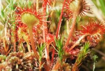 Never repot sundew in potting soil.