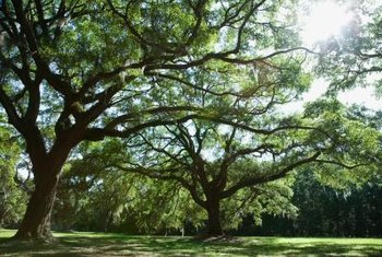 A healthy oak tree provides lots of shade in the spring, summer and fall.
