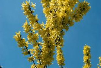 Forsythia sets buds in the summer to bloom the following spring.