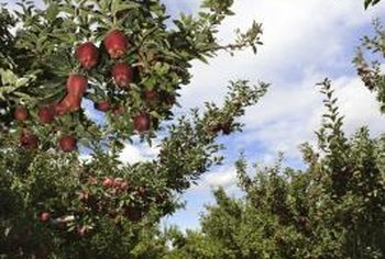 You can safely reduce the amount of fertilizer you use if your fruit trees do well without it.