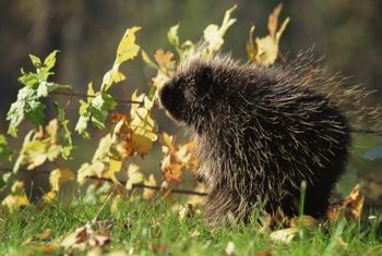 Porcupines look cute but they can be expensive pests.