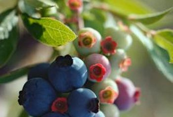 Feeding blueberry bushes ensures a productive harvest.