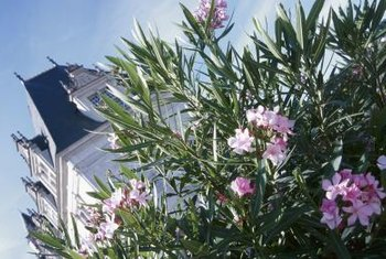 An oleander with healthy green leaves free from frost damage.
