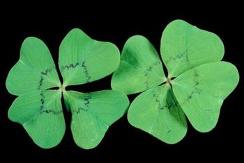 Oxalis deppei's variegation ranges from a purple line to a solid center.