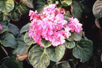 African violets benefit from self-watering systems to control moisture.