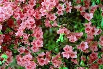 Use organic fertilizers and pest treatments for a healthier azalea.