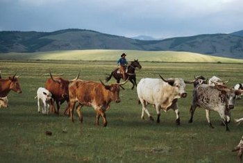 Managing herds of cattle is an arduous, but necessary task.