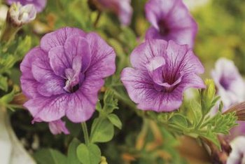 Seeds from double-flowered petunias may produce plants with single flowers.