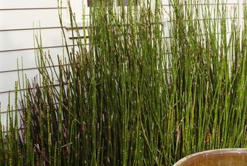 Equisetum, once established, is difficult to kill.
