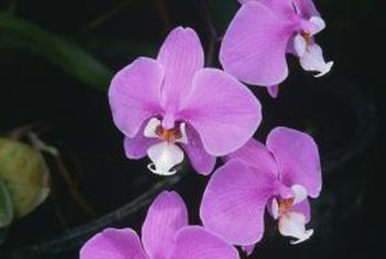 The orchid will grow new blooms after several months.