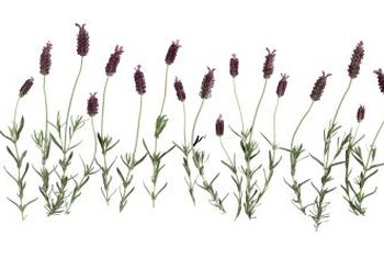 Dried lavender is sometimes substituted for rosemary in culinary dishes.