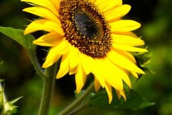 The sunflower has large yellow petals and a dark, seed-filled center.