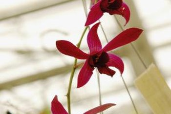 Certain types of orchids can thrive in a CFL environment