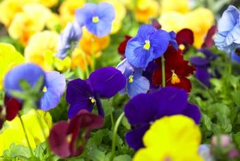 Some perennials are exceptionally cold tolerant and do not need protection.
