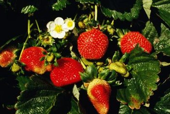 Strawberries are ready to be picked when they are bright red and soft.