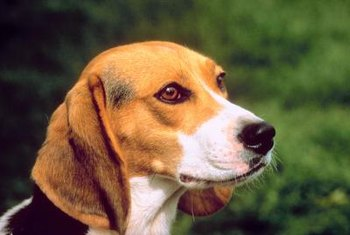 Medical researchers often use purpose-bred beagles.