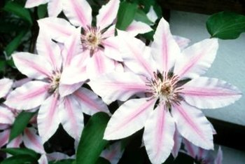 Only a few clematis species can be propagated through division.