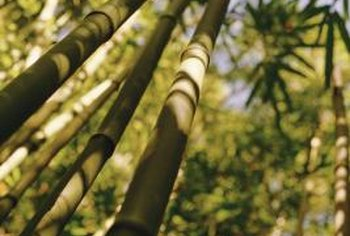 Giant timber bamboo can have 20-inch long by 4-inch wide leaves.