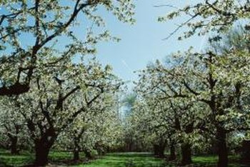 Ornamental pear trees resemble their pear tree cousins with copious white blooms in spring.