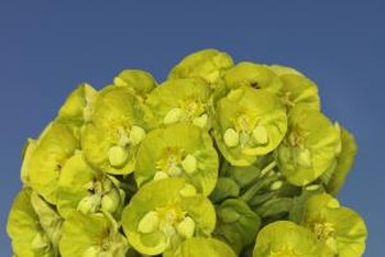 Euphorbia is known by the common name spurge.