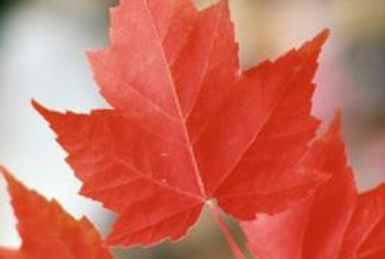 Red maple leaves sport three to five palmate lobes.