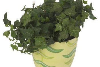 A new pot or location may cause ivy to go limp.