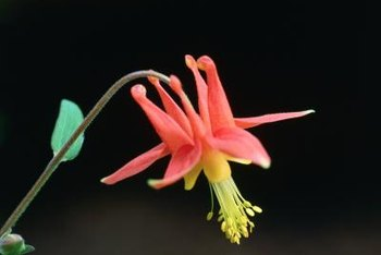 Healthy columbine plants are relatively pest-resistant.