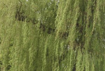 A willow tree's roots can extend three times the radius of the foliage.
