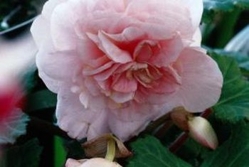 Begonias do best in areas of high humidity.