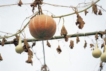 Gourds have particular demands for a trellis.