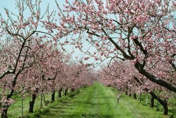 Peach blossoms lend a lovely fragrance to your garden in the spring.