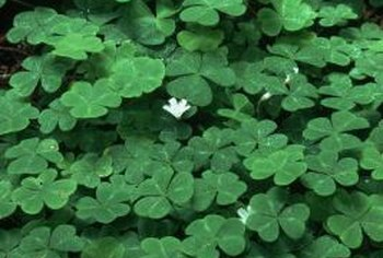 Shamrocks produce small flowers in winter and spring.