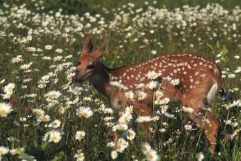 Deer may still feed on deer-resistant plants when lacking other food sources.