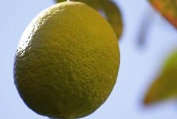 Citrus thrips can infest leaves and fruit of citrus trees.