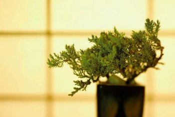 When watering a juniper, excess water should run out of the drainage holes.