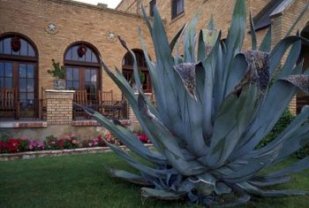 Agaves provide a dramatic focal point in the landscaping.