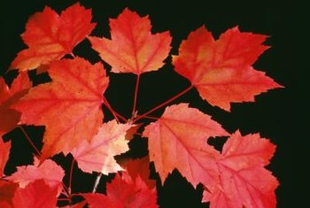 Red maple petioles, or leaf stalks, also turn red with leaves in autumn.
