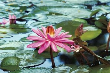 Exotic-looking water lilies work well in containers for your deck or patio.