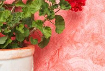 Grow a broken geranium stem into a new plant.