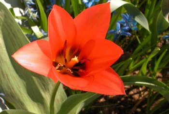 Coffee grounds provide some nutrients for healthy tulips.