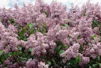 """Miss Kim"" blooms later than common lilacs."