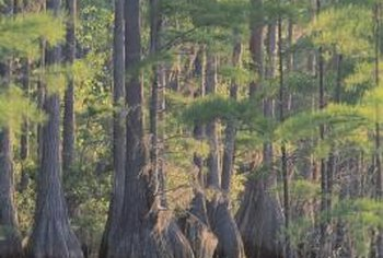 Pond cypress typically produces root protrusions called knees when it's growing in water.