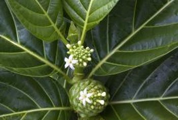 Noni fruits come from a tropical evergreen bush.