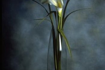 Cut calla lilies blooms and use them in indoor floral arraignments.