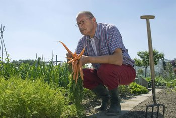 Carrots are ready for harvest when the diameter is 3/4 to 1 inch.